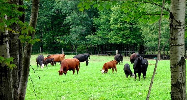 Pasture Perfect Cattle